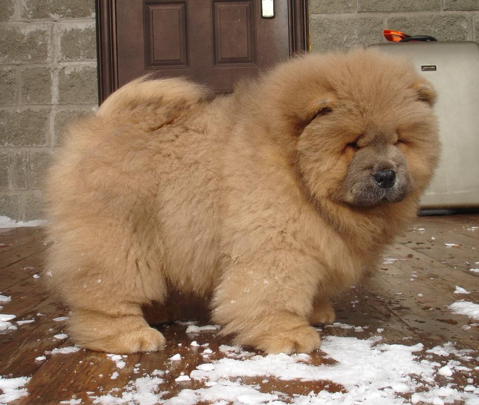 Cinnamon Dog Breed