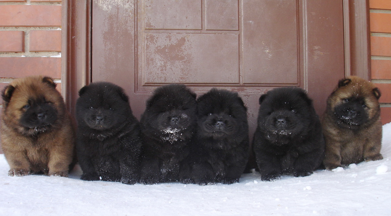 10 Things You Need To Know About Chow Chows