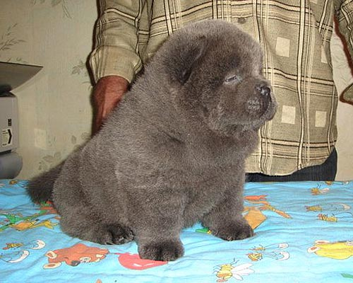 Blue Chow Puppies
